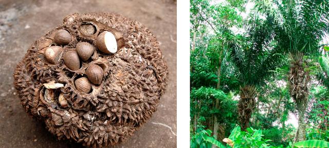 Mazonia - la marque de mode éthique - graine de tagua